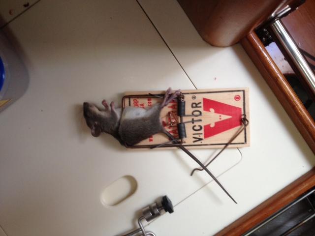 Anna Sophia: De nachtmerrie van een rat aan boord