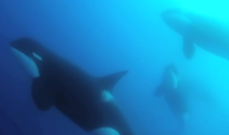 Eureka! Nieuw soort orka gevonden