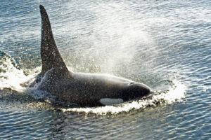 Pleziervaart Spanje deels stil gelegd vanwege speelse orka's