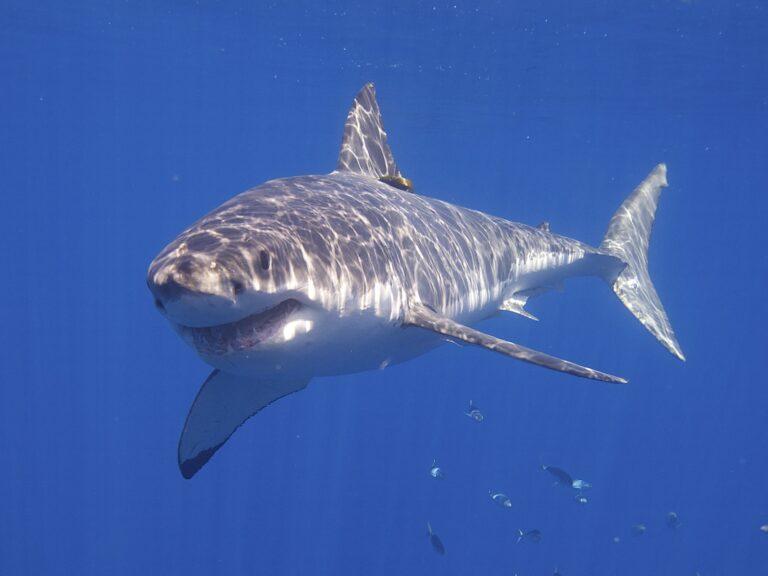 Zeilen we straks voor de Europese kust tussen de witte haaien?