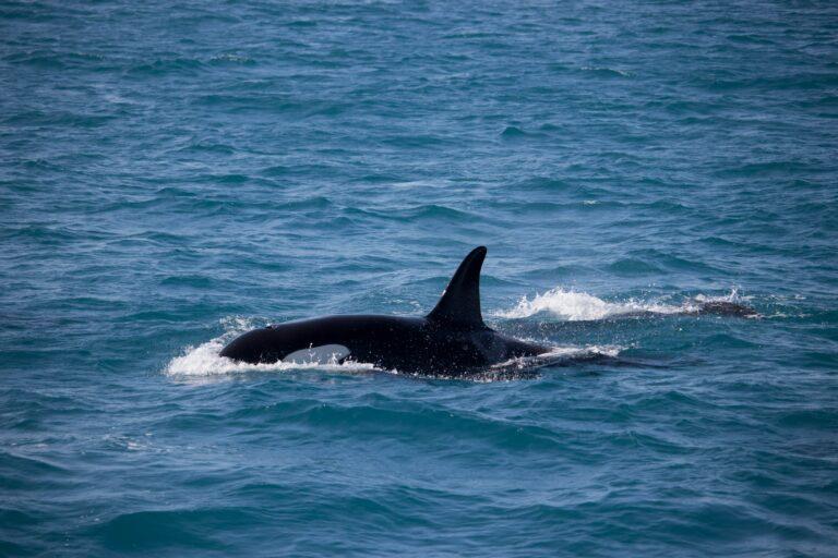 Laat onverwachte orka's niet met je spotten