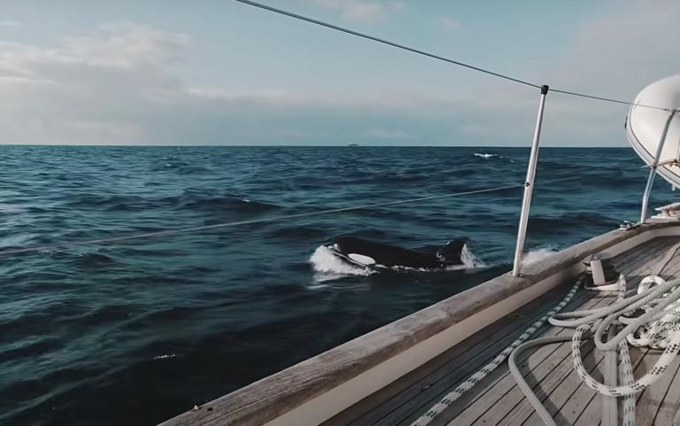 """Gibraltar-orka's slaan weer toe: """"Er ging er een vandoor met een stuk roer in zijn bek"""""""